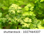 Italian Parsley's Bright Leave...