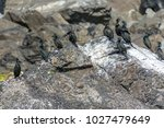 european shag colony on an big... | Shutterstock . vector #1027479649
