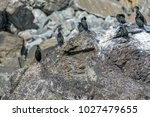 common shag colony in runde... | Shutterstock . vector #1027479655