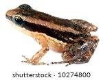 Small photo of Rocket Frog (Allobates insperatus)