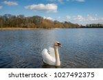 Adult Mute Swan Seen Along On ...