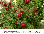 Stock photo high growing bushes of fragrant red rose attached to iron rods around the house 1027502239