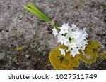 bunch of spring narcissi... | Shutterstock . vector #1027511749