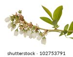 Inflorescence Of Blueberry...