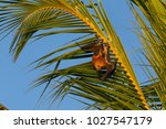 Small photo of Mauritian flying fox (Pteropus niger) sitting in a palm tree near Le Morne in Mauritius, Africa.