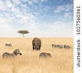 adult elephant with zebras and...   Shutterstock . vector #1027560361