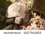 Mature Spur Thighed Tortoise O...