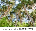 green pine forest background in ... | Shutterstock . vector #1027562071