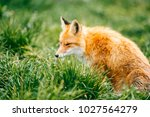 portrait of young little red... | Shutterstock . vector #1027564279