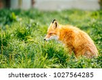 portrait of young little red... | Shutterstock . vector #1027564285
