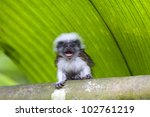 Cotton Top Tamarin In The...