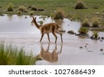 vicuna walking on the flooded...   Shutterstock . vector #1027686439