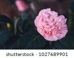 A Large Tea Rose With Delicate...