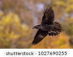 Small photo of The Common Raven, Corvus corax is flying in the autumn color backgroung, Poland