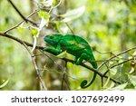 the common chameleon or... | Shutterstock . vector #1027692499