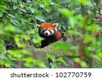 Red Panda Bear In Nature
