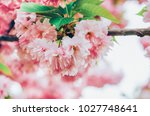sakura tree with pink flowers... | Shutterstock . vector #1027748641