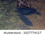 longfin eels in fresh water    Shutterstock . vector #1027774117