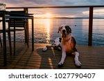 Harlequin Great Dane Dog Layin...