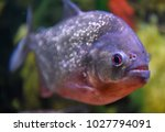 piranha in water | Shutterstock . vector #1027794091