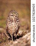 Burrowing Owl Athene...