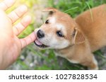 Stock photo small cute brown puppy dog biting playing human hand 1027828534