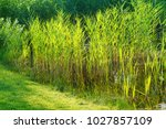 Small photo of Young acorus - cattail bush
