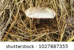 straw mushrooms are like an...   Shutterstock . vector #1027887355