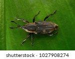 Beetle  weevil   aarey milk...