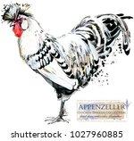 appenzeller rooster. poultry... | Shutterstock . vector #1027960885