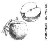 apple hand drawn sketch  pencil ... | Shutterstock .eps vector #1027982131