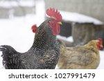chickens in winter | Shutterstock . vector #1027991479