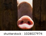 pig nose in wooden fence. young ... | Shutterstock . vector #1028027974