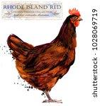 Rhode Island Red Hen. Poultry...