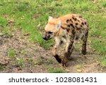 lovely spotted hyena | Shutterstock . vector #1028081431