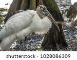 wood stork  mycteria americana  ...   Shutterstock . vector #1028086309