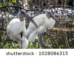 wood stork  mycteria americana  ...   Shutterstock . vector #1028086315