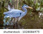 great blue heron ardea...   Shutterstock . vector #1028086975