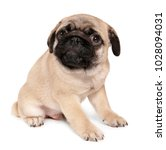 Stock photo cute pug puppy on white background 1028094031