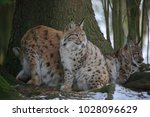 eurasian lynx  lynx lynx ...   Shutterstock . vector #1028096629