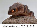 red eyed crocodile skink on...   Shutterstock . vector #1028111815