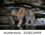 eurasian lynx  lynx lynx  three ...   Shutterstock . vector #1028124409
