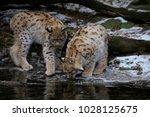 eurasian lynx  lynx lynx  two...   Shutterstock . vector #1028125675