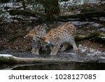 eurasian lynx  lynx lynx  two...   Shutterstock . vector #1028127085