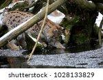 eurasian lynx  lynx lynx  young ...   Shutterstock . vector #1028133829