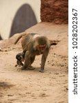 Mother Monkey Walking With Her...