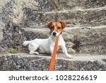 the jack russell dog stands on... | Shutterstock . vector #1028226619