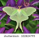 A Beautiful Luna Moth  Actias...