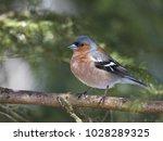 chaffinch  fringilla coelebs    Shutterstock . vector #1028289325