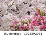 branch of pink cherry blossoms... | Shutterstock . vector #1028292091